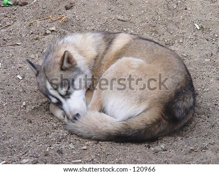 Husky dog curled up asleep in the dirt - stock photo