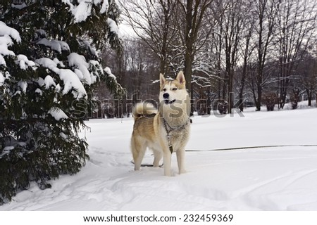 Husky dog for a walk in the park - stock photo