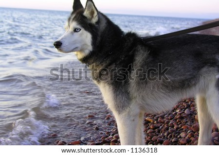 Husky Dog overlooking lake on rock beach - stock photo