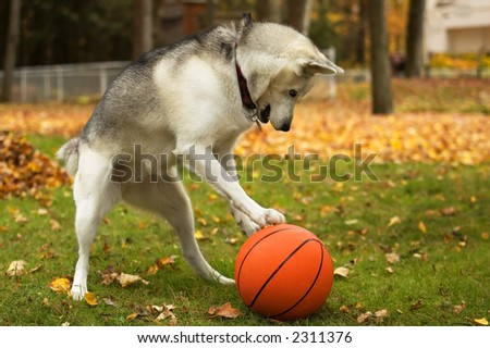 Husky dog playing with a red basket ball - stock photo