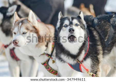 husky dog sledding in