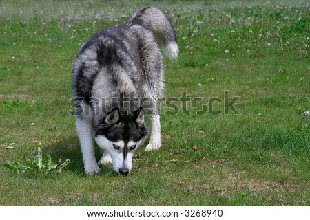 husky dog sniffing in the grass - stock photo