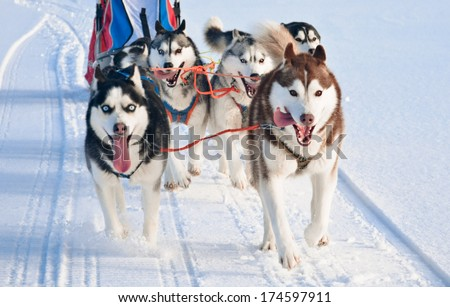 Husky dog team is running at sled dog race on snow - stock photo