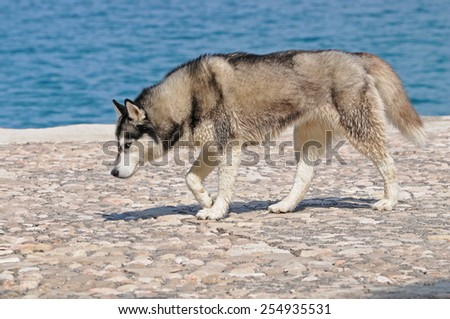 husky dog walking at the waterfront of the Adriatic Sea, a rather unfamiliar surrounding for a siberian husky, sporting an athletic body