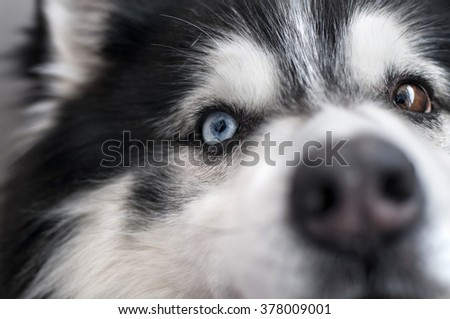 Husky dog with multicolored eyes