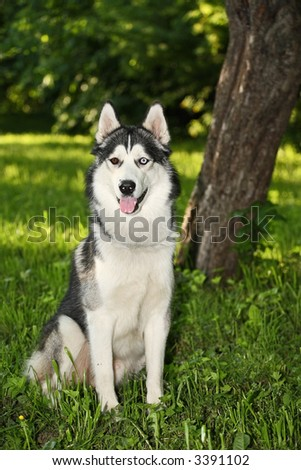 Husky dog with multicolored eyes in the summer forest