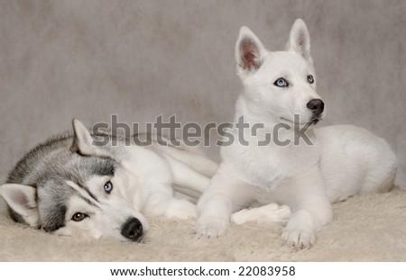 Husky dog with white puppy - stock photo
