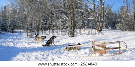 Husky dogs having some rest in the deep mountain forest while dogsledding activity in Quebec - stock photo