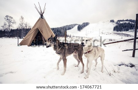 Husky dogs near wigwam in winter forest, Central Finland - stock photo