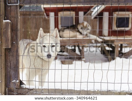Husky in a cage - stock photo