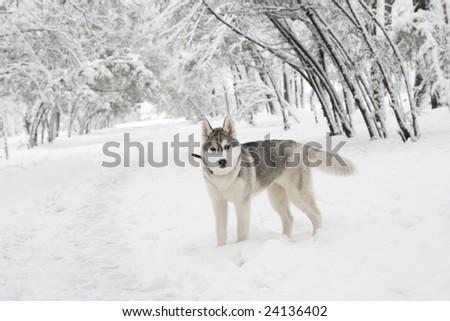 husky in park - stock photo