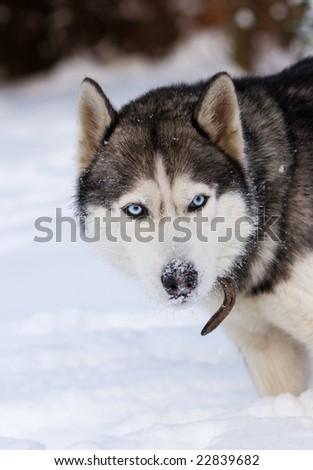 husky in snow - stock photo