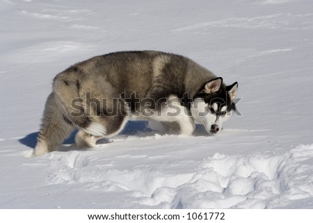 husky in snow walking in a wolfish manner