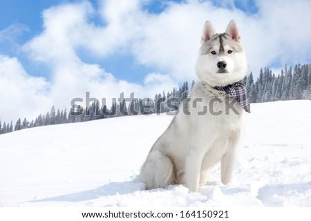 Husky in winter - stock photo