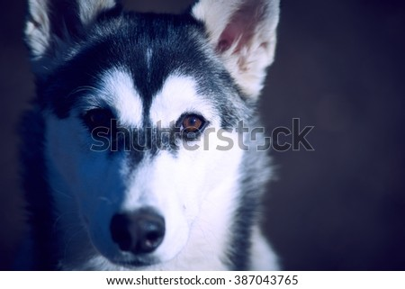 husky malamute mix outdoor dog pet portrait photo - stock photo
