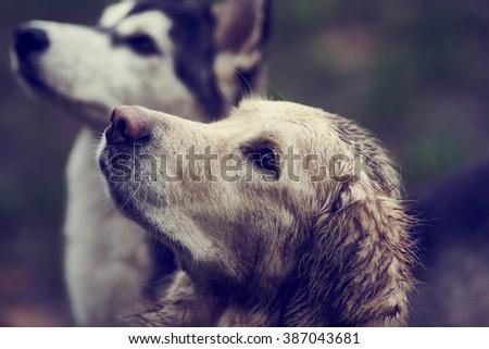 husky malamute mix outdoor dog pet portrait photo golden retriever dirty dogs - stock photo