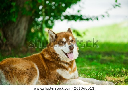 husky on grass - stock photo