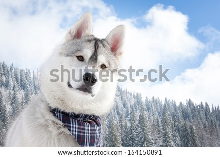 Husky on snowy forest in background