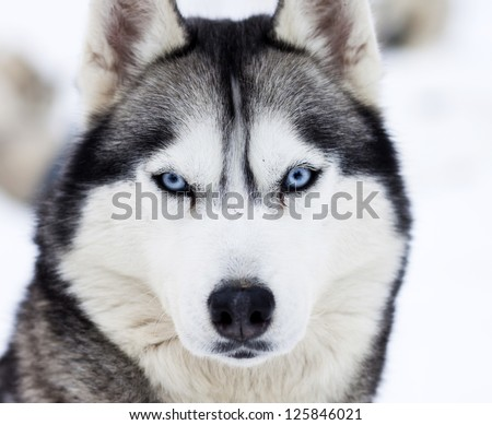 Husky Dog Stock Images Royalty Free Images Amp Vectors