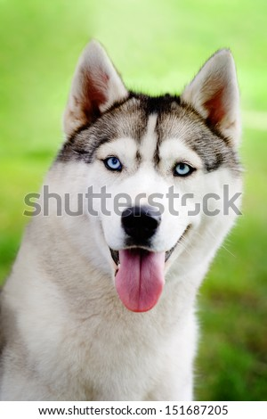 Husky portrait - stock photo