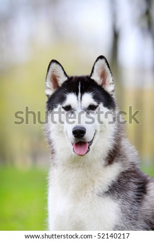 husky portrait - stock photo