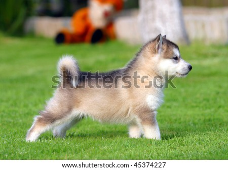 Husky puppet on the grass - stock photo