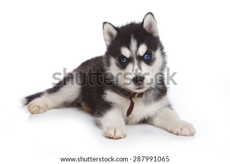 Husky  puppy lying and looking at the camera (isolated on white) - stock photo
