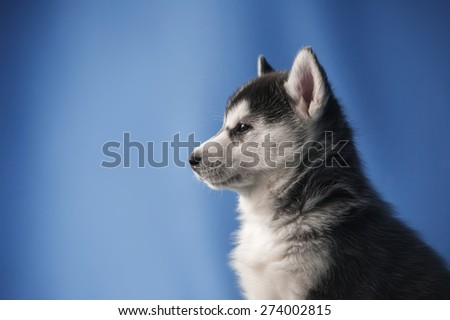 Husky puppy on a blue background - stock photo