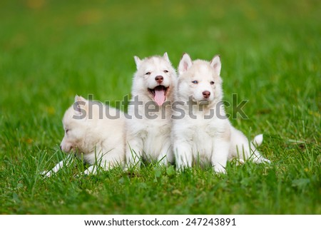 Husky puppy on a green grass in autumn - stock photo