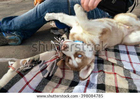 Husky puppy on a picnic in the park