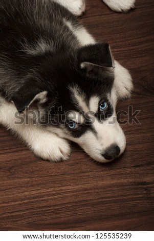 Husky puppy on wooden floor. - stock photo