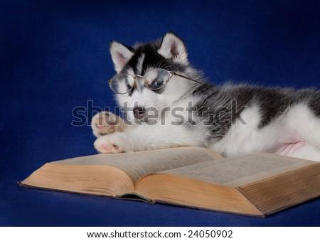 Husky puppy reading a book - stock photo