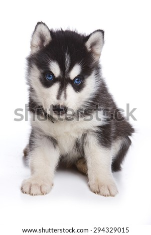 Husky puppy sitting and looking at the camera (isolated on white) - stock photo