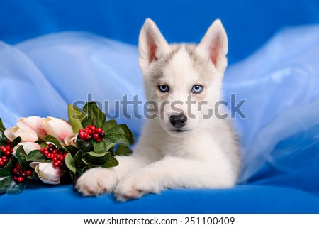 Husky puppy with a flower on blue background - stock photo