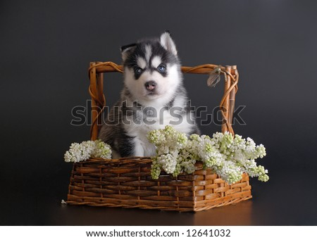 Husky puppy with lilac - stock photo