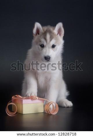 Husky puppy with present - stock photo