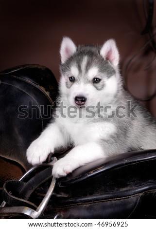 Husky puppy with saddle - stock photo