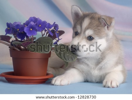 Husky puppy with violet - stock photo