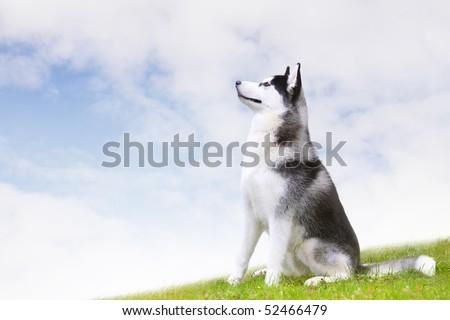 husky sitting on grass - stock photo