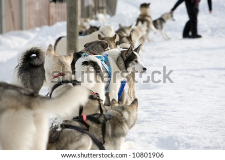 Husky sled-dogs getting ready for ride