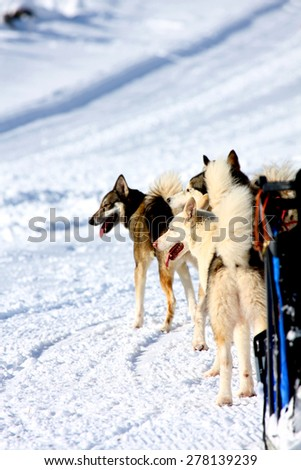 Husky Sled Dogs wait that the race begins - stock photo