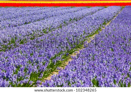 Hyacinth and tulip field