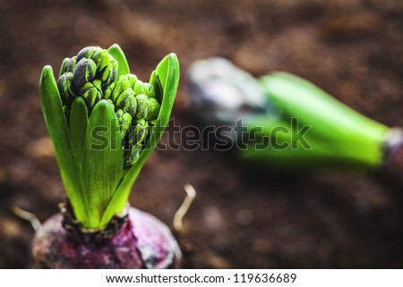 hyacinth bulb - stock photo