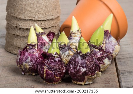 Hyacinth bulbs and pots for planting - stock photo