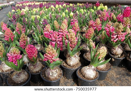 Hyacinth field colorful spring flowers hyacinth stock photo royalty field of colorful spring flowers hyacinth in pots with bulbs in greenhouse on sunlight mightylinksfo