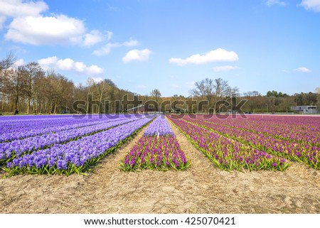 Hyacinth field under a Dutch spring time - stock photo