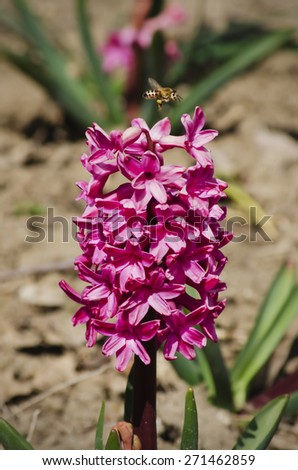 Hyacinth Flower and Flying Bee  - stock photo