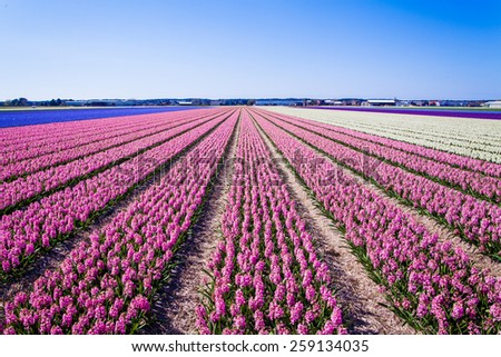 hyacinth flowers - stock photo