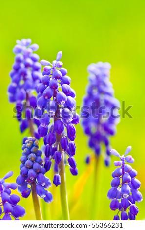Hyacinth flowers - stock photo