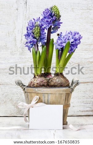 Hyacinth flowers in wooden pot, copy space - stock photo